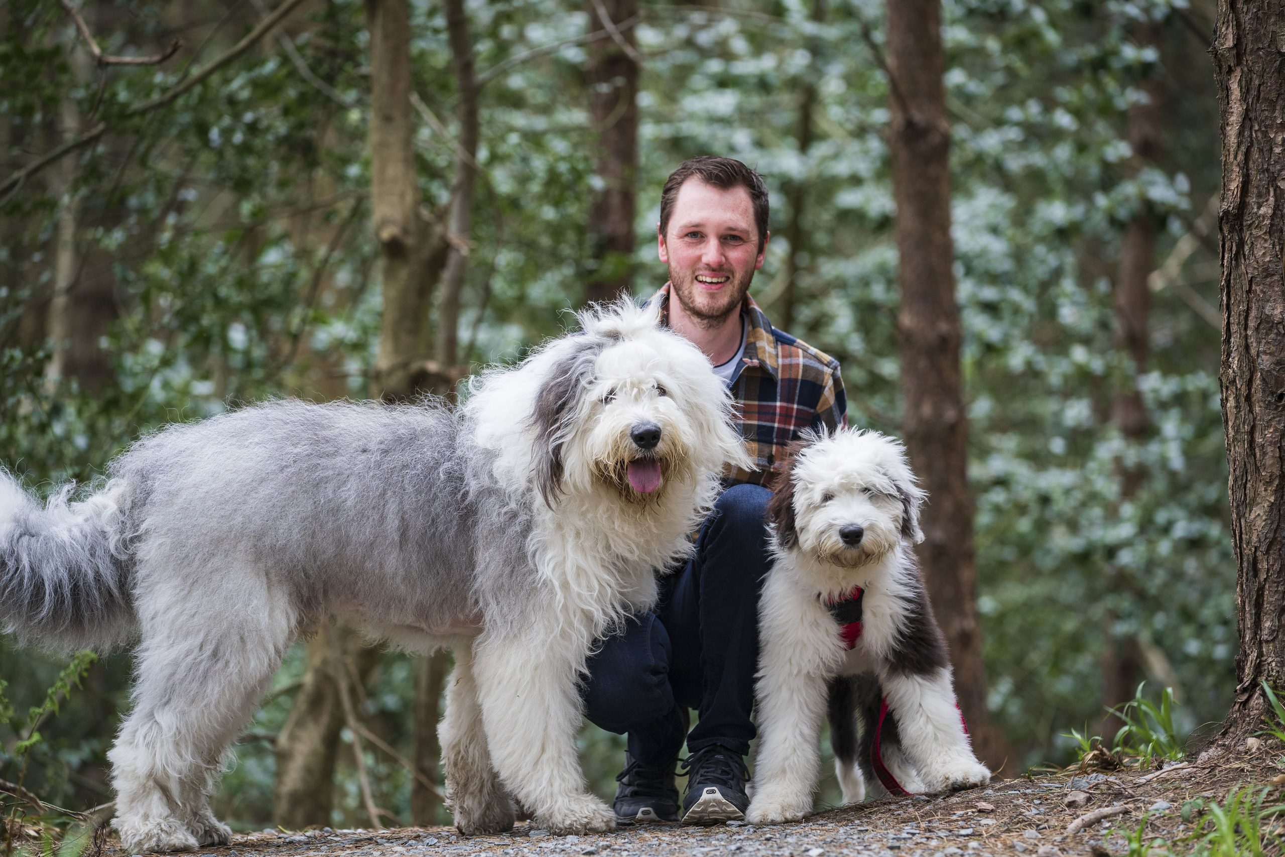 Man kneels in forest next to two old english sheepdogs